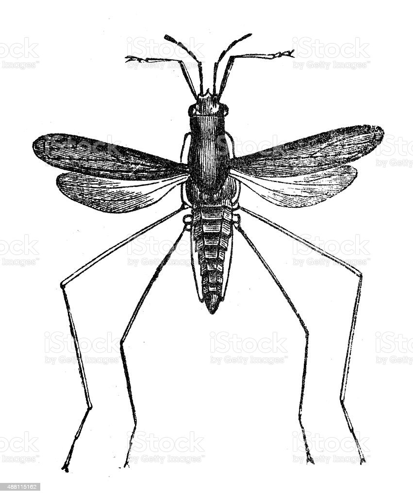 Antique Illustration Of Water Gnat Flying Water Bug Stock Vector Art ...