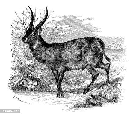 Antique illustration of waterbuck (Kobus ellipsiprymnus)