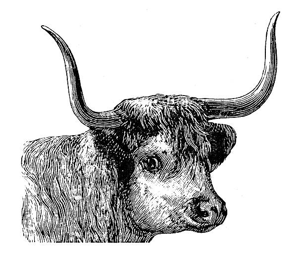 Best Highland Cattle Illustrations, Royalty-Free Vector Graphics & Clip Art - iStock