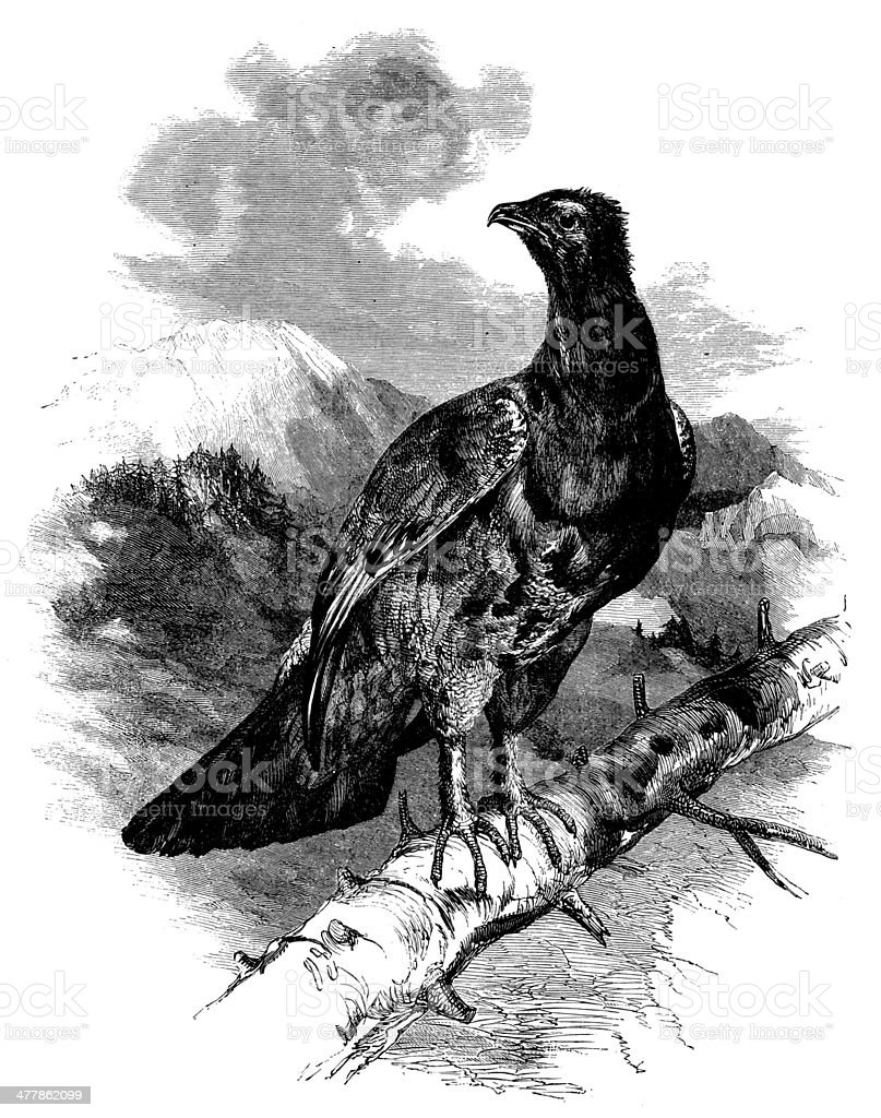 Antique illustration of Western Capercaillie (Tetrao Urugallus) royalty-free stock vector art