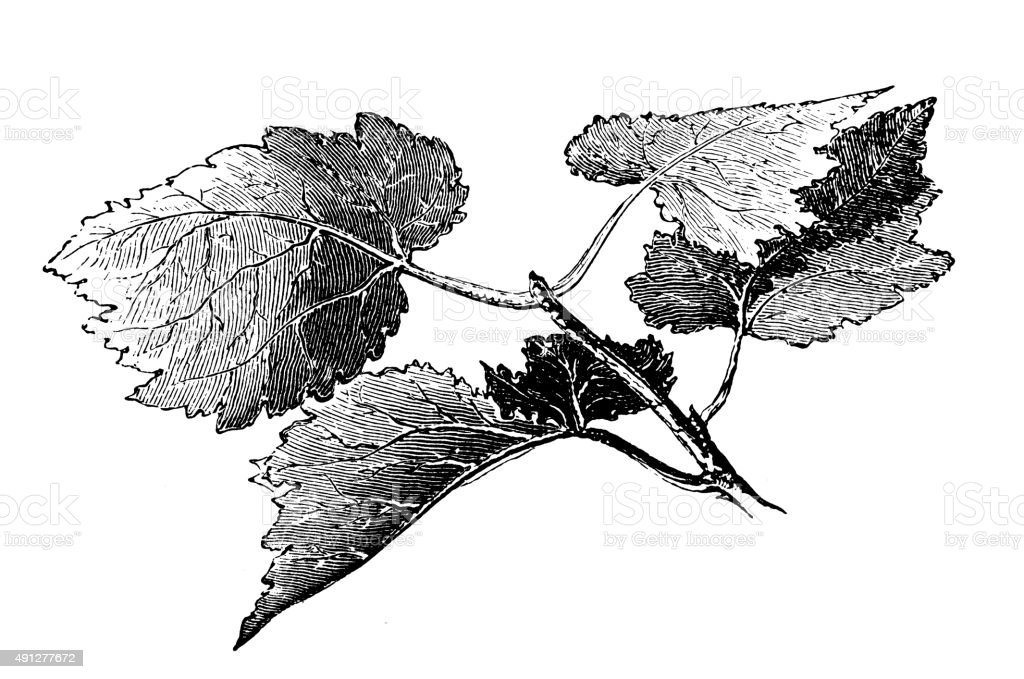 Antique illustration of white poplar vector art illustration