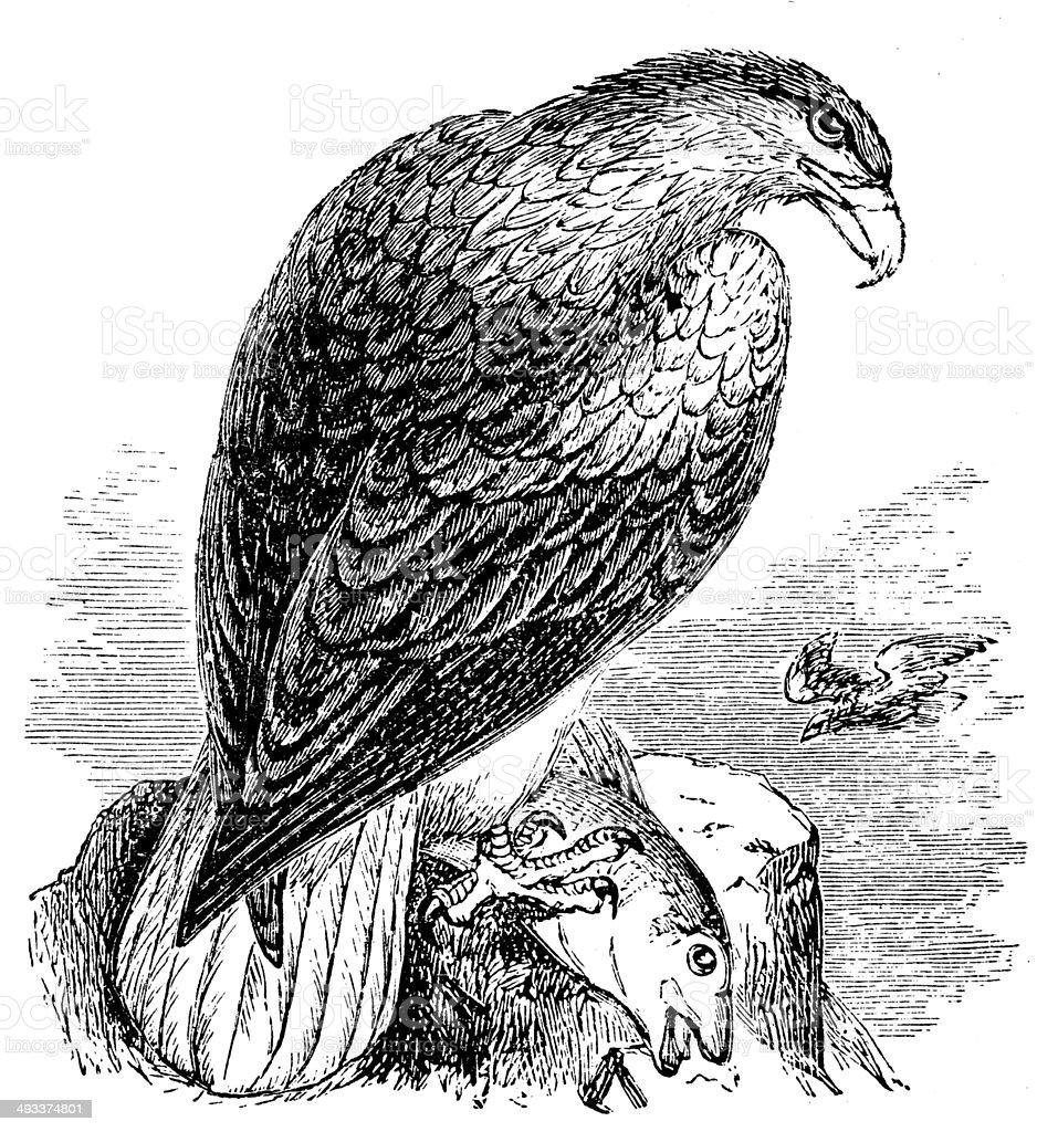Antique illustration of White-tailed Eagle (Haliaeetus albicilla) vector art illustration