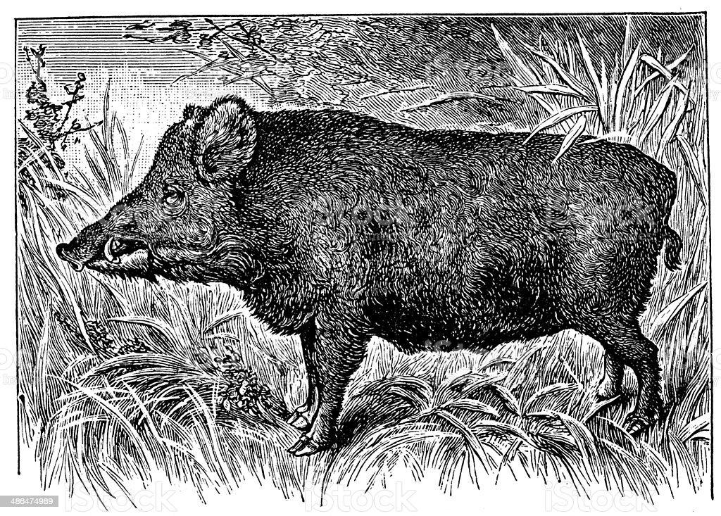 Antique illustration of wild boar vector art illustration