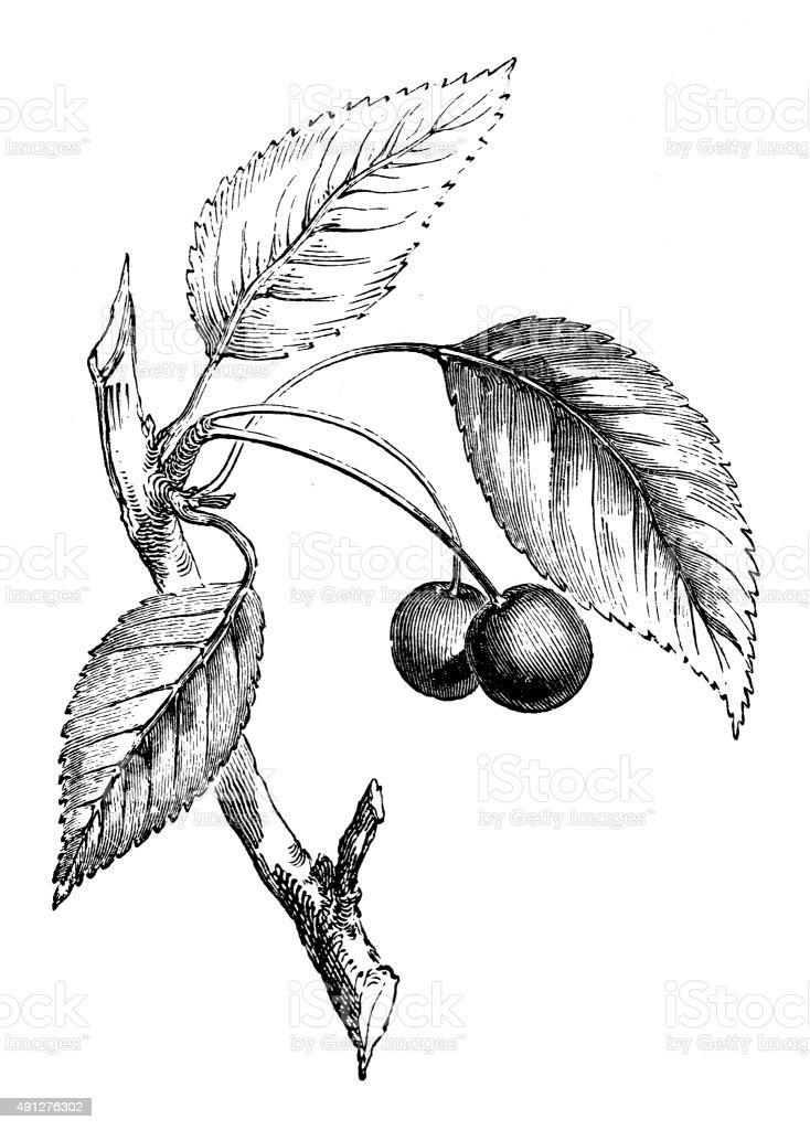 Antique illustration of wild cherry tree vector art illustration