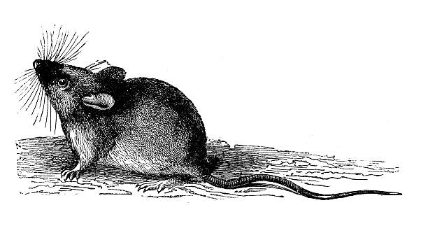 antique illustration of wood or long-tailed field mouse (apodemus sylvaticus) - 囓齒目動物 幅插畫檔、美工圖案、卡通及圖標