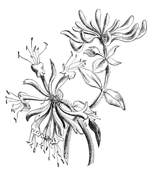 Honeysuckle Flower Line Drawing : Royalty free honeysuckle clip art vector images