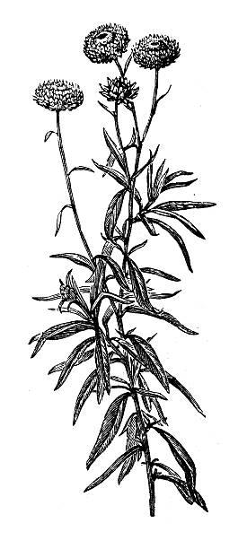 ilustrações, clipart, desenhos animados e ícones de antigo ilustração de xerochrysum bracteatum (golden eterno ou perpétua) - saudade
