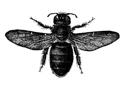 Antique illustration of Xylocopa violacea (violet carpenter bee, Indian Bhanvra)