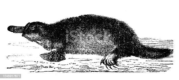 Antique illustration: Platypus