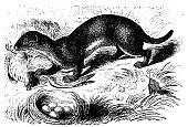 Antique illustration: stoat, ermine, Mustela erminea