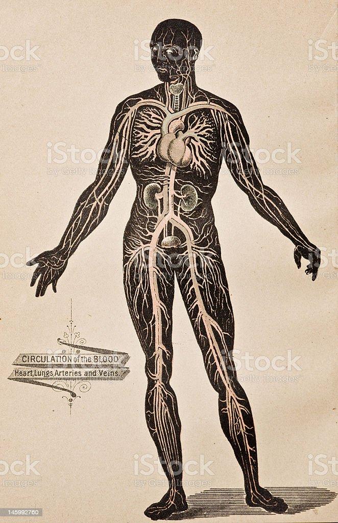 Antique Medical Illustration | Circulatory System royalty-free stock vector art