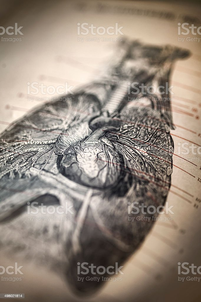 Antique medical illustration: heart and bronchial tree vector art illustration
