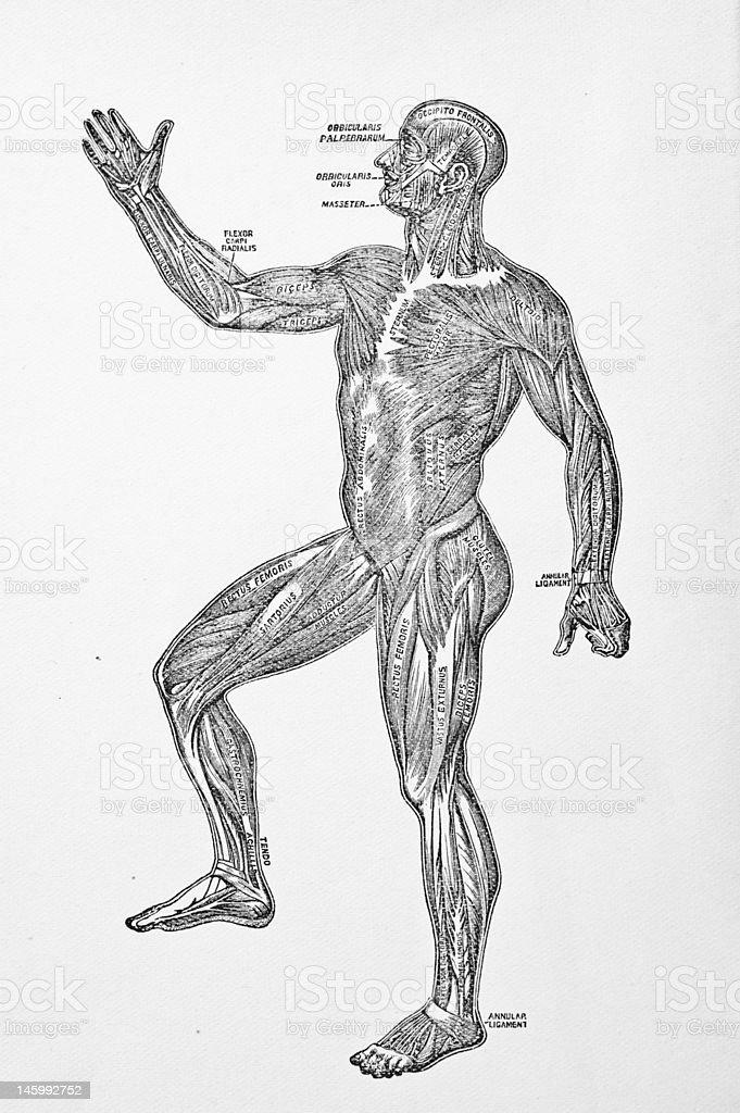 Antikes Medizinische Illustrationmenschlicher Körper Stock Vektor ...