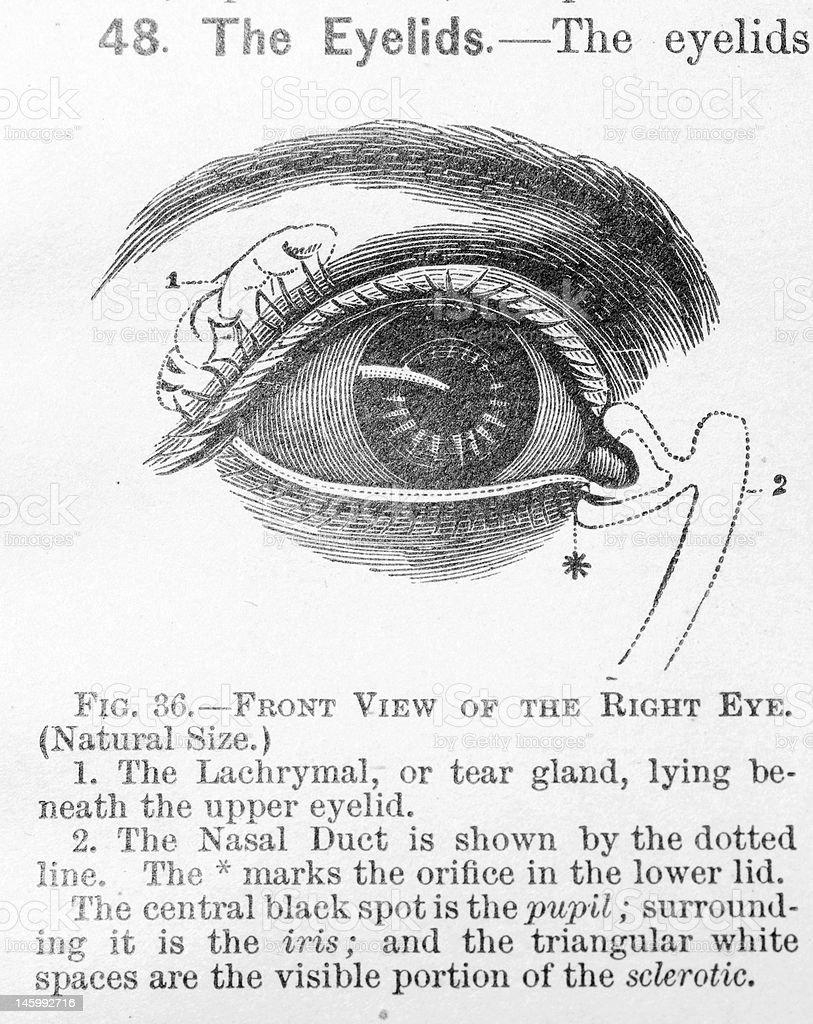 Antique Medical Illustration Human Eye Stock Vector Art & More ...