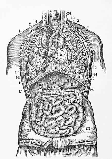 antique medical illustration | human organs - autopsy stock illustrations, clip art, cartoons, & icons