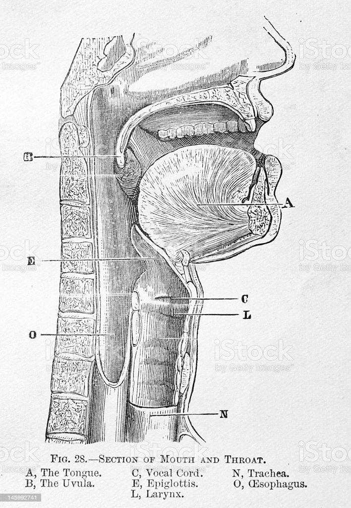This is an antique medical illustration of the human throat.