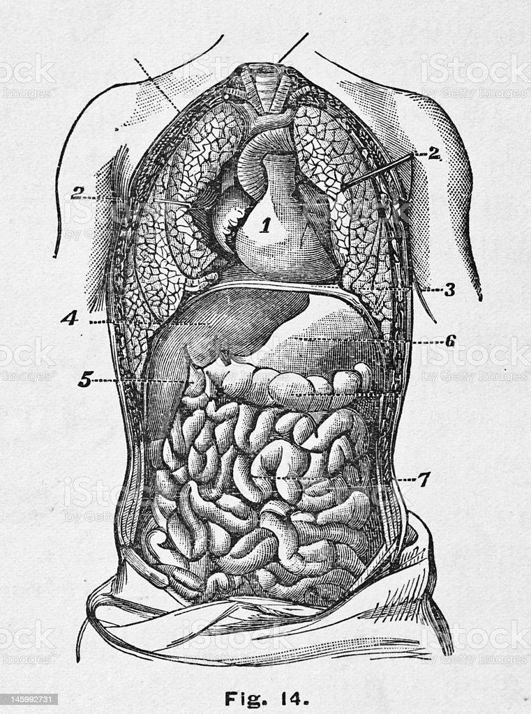 Antikes Medizinische Illustrationmenschlichen Torso Stock Vektor Art ...