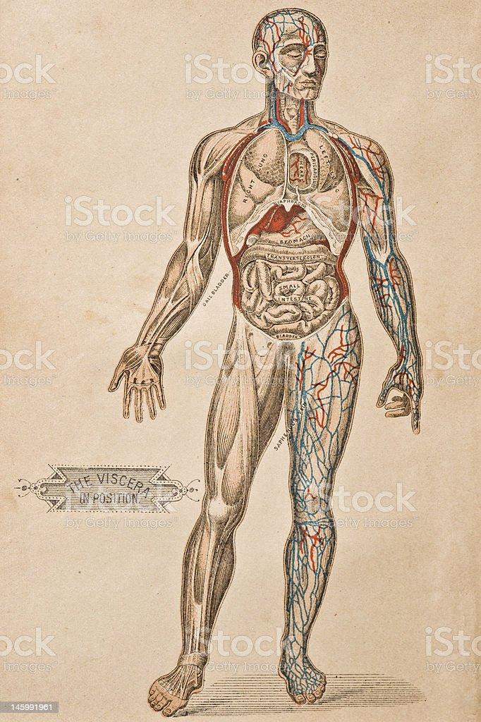 Antique Medical Illustration | Viscera vector art illustration