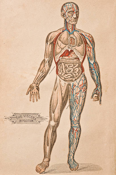 Antique Medical Illustration | Viscera http://thebrainstormlab.com/banners/ami_banner.jpgThis is a medical illustration of human internal organs. medical illustrations stock illustrations