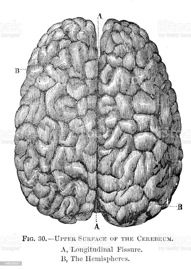 Antique medical illustration | Whole Brain royalty-free stock vector art