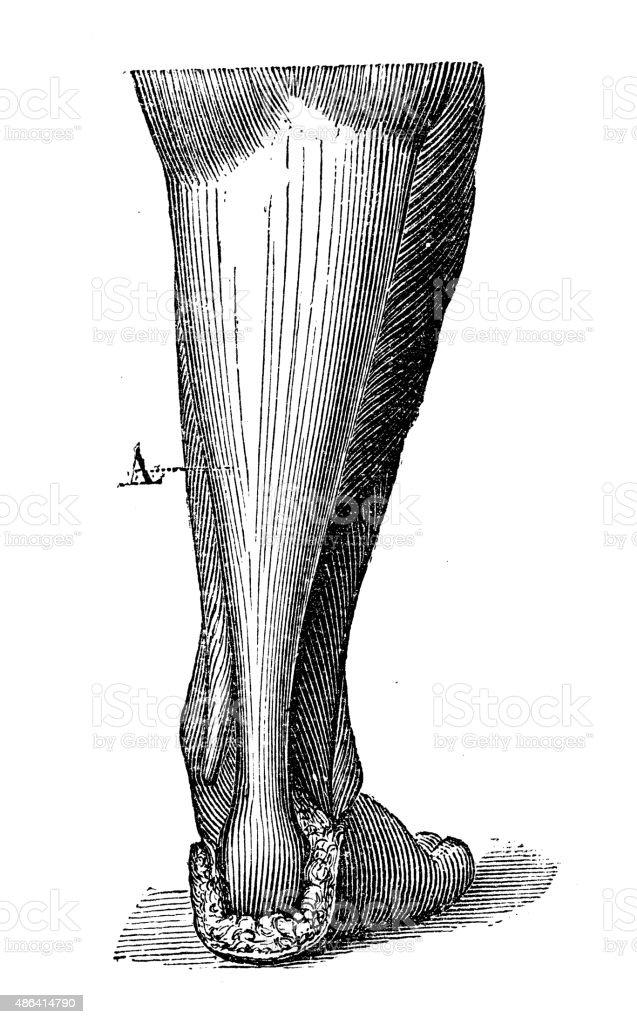 Antique medical scientific illustration high-resolution: Achilles tendon vector art illustration