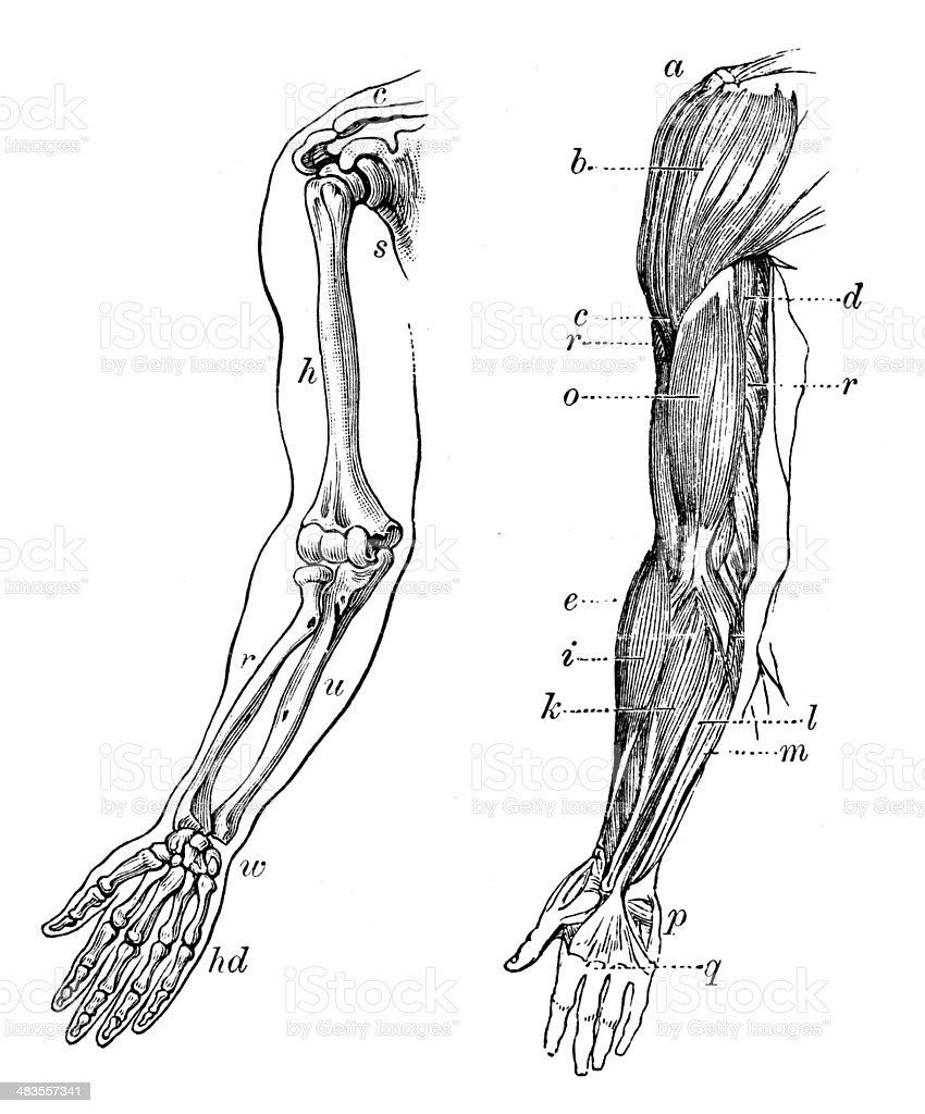 Antique medical scientific illustration high-resolution: arm bones and muscles vector art illustration