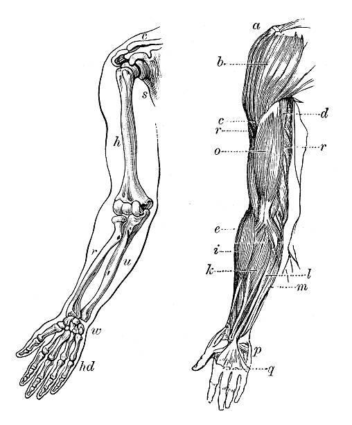 stockillustraties, clipart, cartoons en iconen met antique medical scientific illustration high-resolution: arm bones and muscles - arm lichaamsdeel