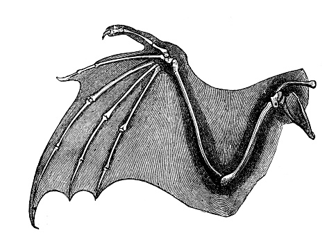 Antique medical scientific illustration high-resolution: Bat wing bones