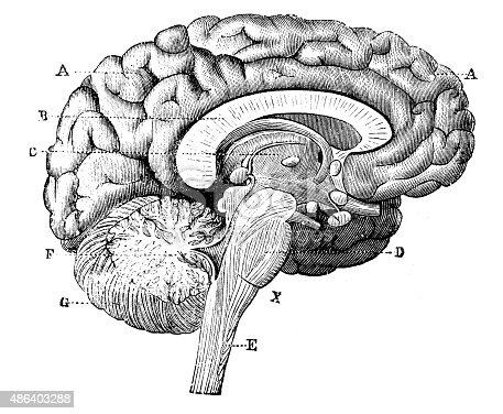 Antique medical scientific illustration high-resolution: brain