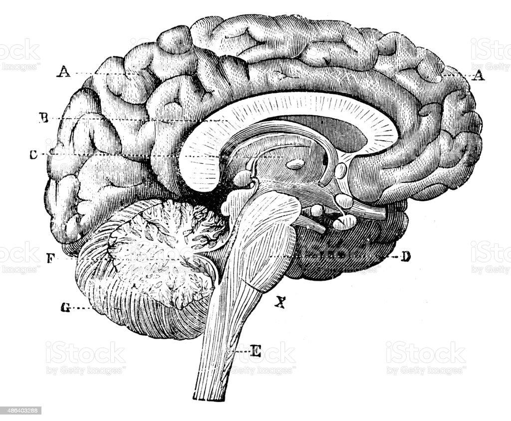 Antique medical scientific illustration high-resolution: brain vector art illustration