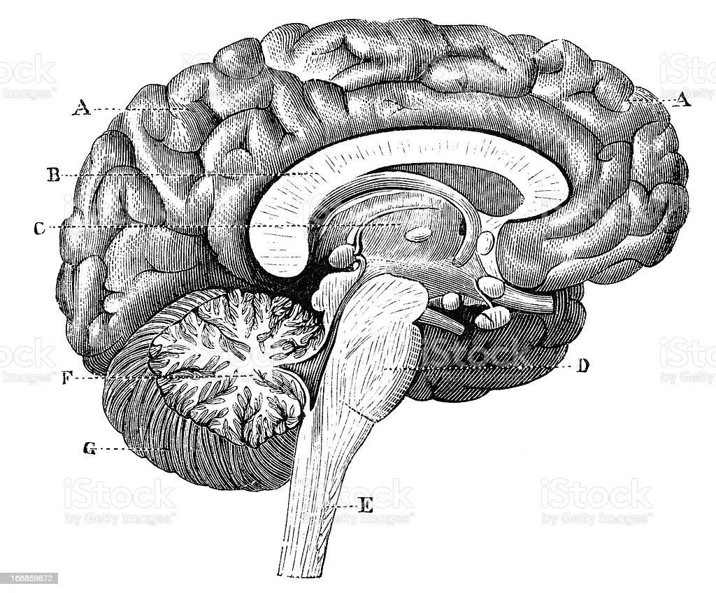 Antique medical scientific illustration high-resolution: brain section profile vector art illustration