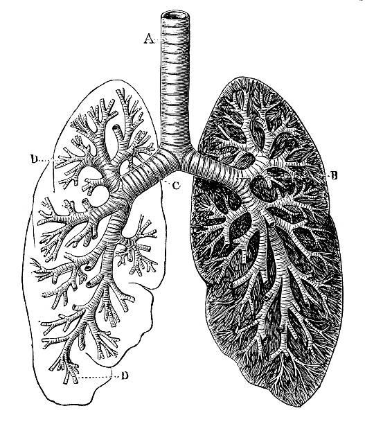 Antique medical scientific illustration high-resolution: bronchial tree Antique medical scientific illustration high-resolution: bronchial tree human lung stock illustrations