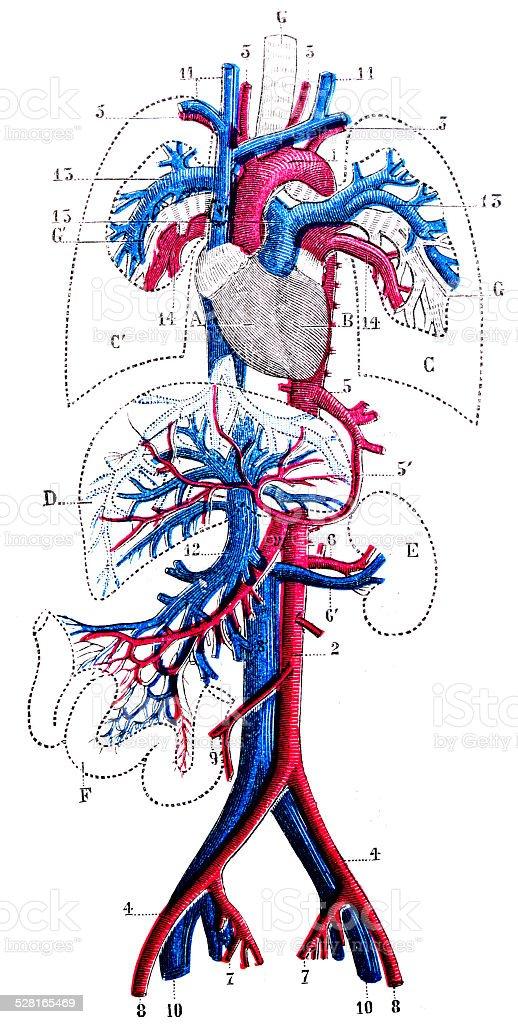 Antique medical scientific illustration high-resolution: Circulatory system vector art illustration
