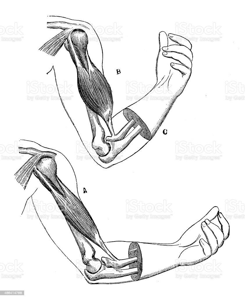 Antique medical scientific illustration high-resolution: elbow vector art illustration
