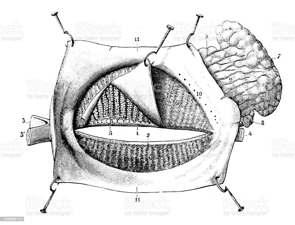 Anticuario Científica Médica Ilustración De Alta Resolución Párpado ...