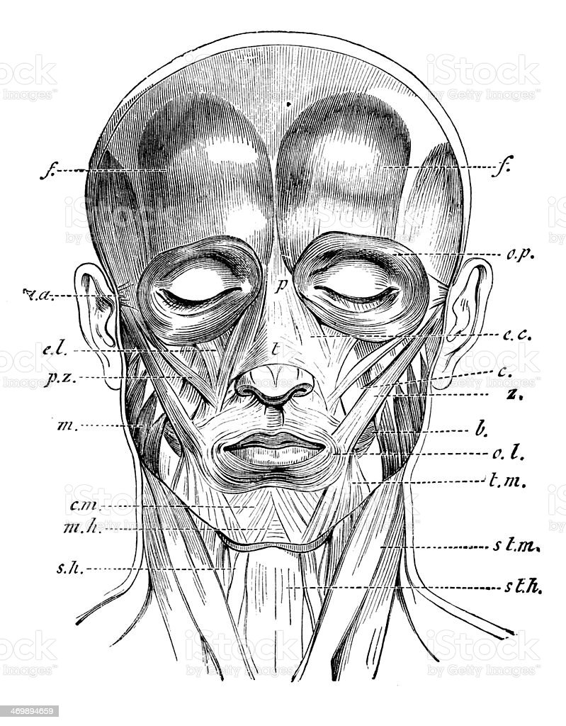 Antique medical scientific illustration high-resolution: face muscles vector art illustration