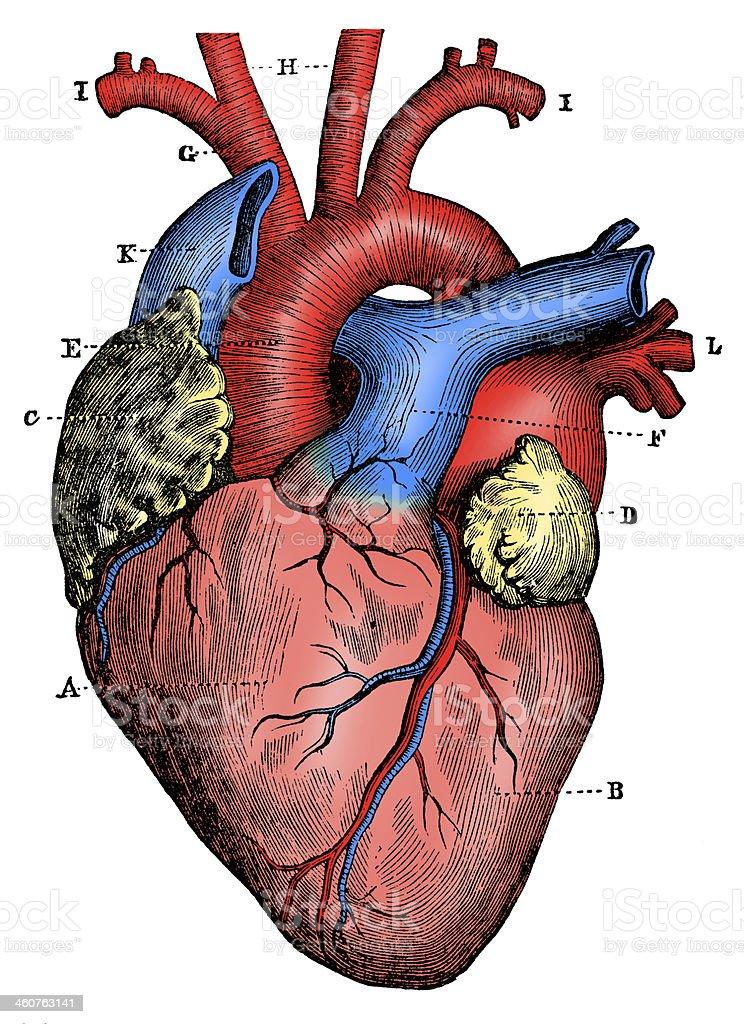 Antique medical scientific illustration high-resolution: heart vector art illustration
