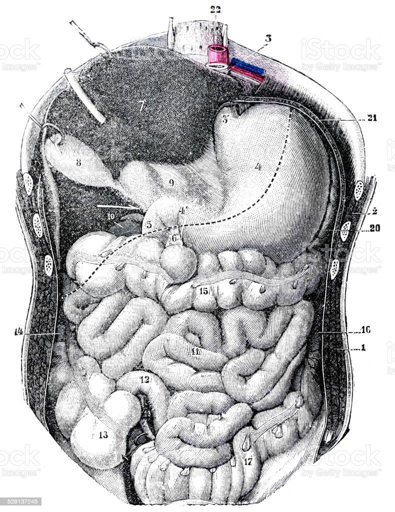 Antique Medical Scientific Illustration Highresolution Human