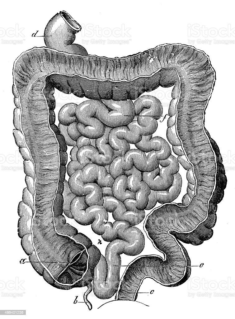 Antique medical scientific illustration high-resolution: intestine vector art illustration