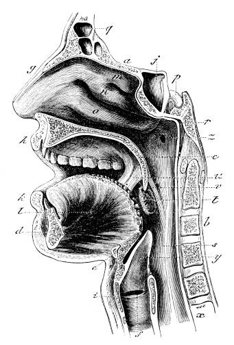 Antique Medical Illustration   Neck Stock Vector