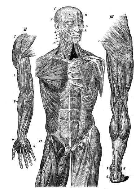 Antique medical scientific illustration high-resolution: muscles vector art illustration