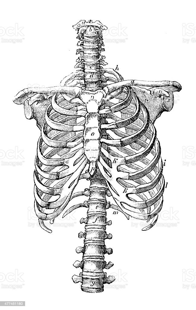 Antique Medical Scientific Illustration Highresolution Rib