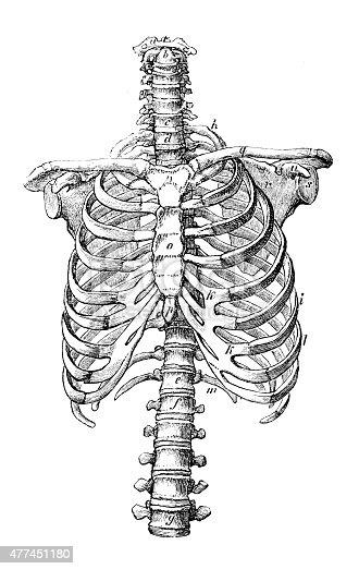 vertebral body diagram antique medical scientific illustration highresolution rib  antique medical scientific illustration highresolution rib