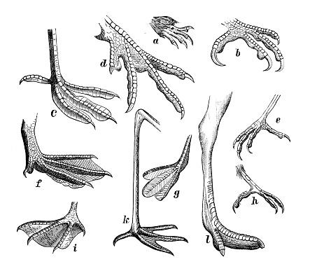 Antique medical scientific illustration high-resolution: several bird legs feet claws