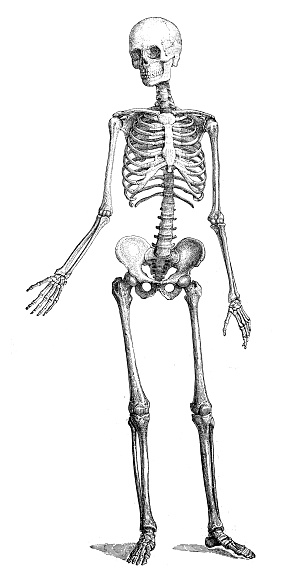 Antique medical scientific illustration high-resolution: skeleton