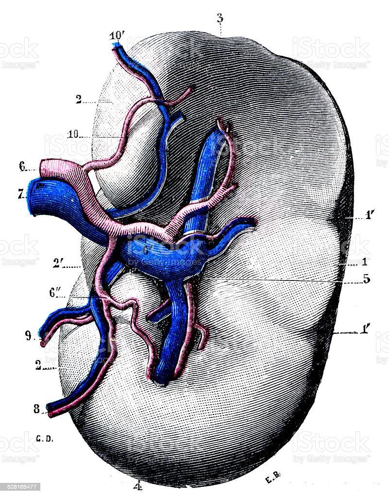Anticuario Científica Médica Ilustración De Alta Resolución El Bazo ...