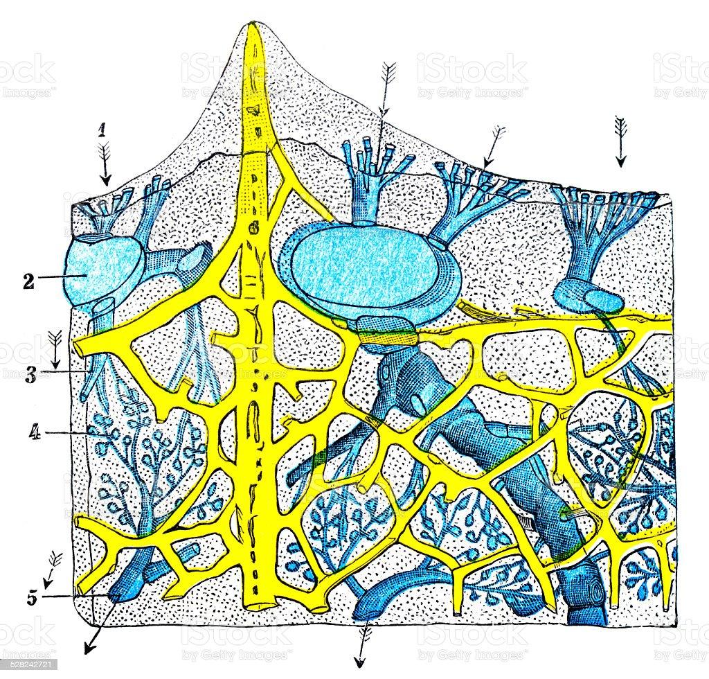 Antique Medical Scientific Illustration Highresolution Sponge ...