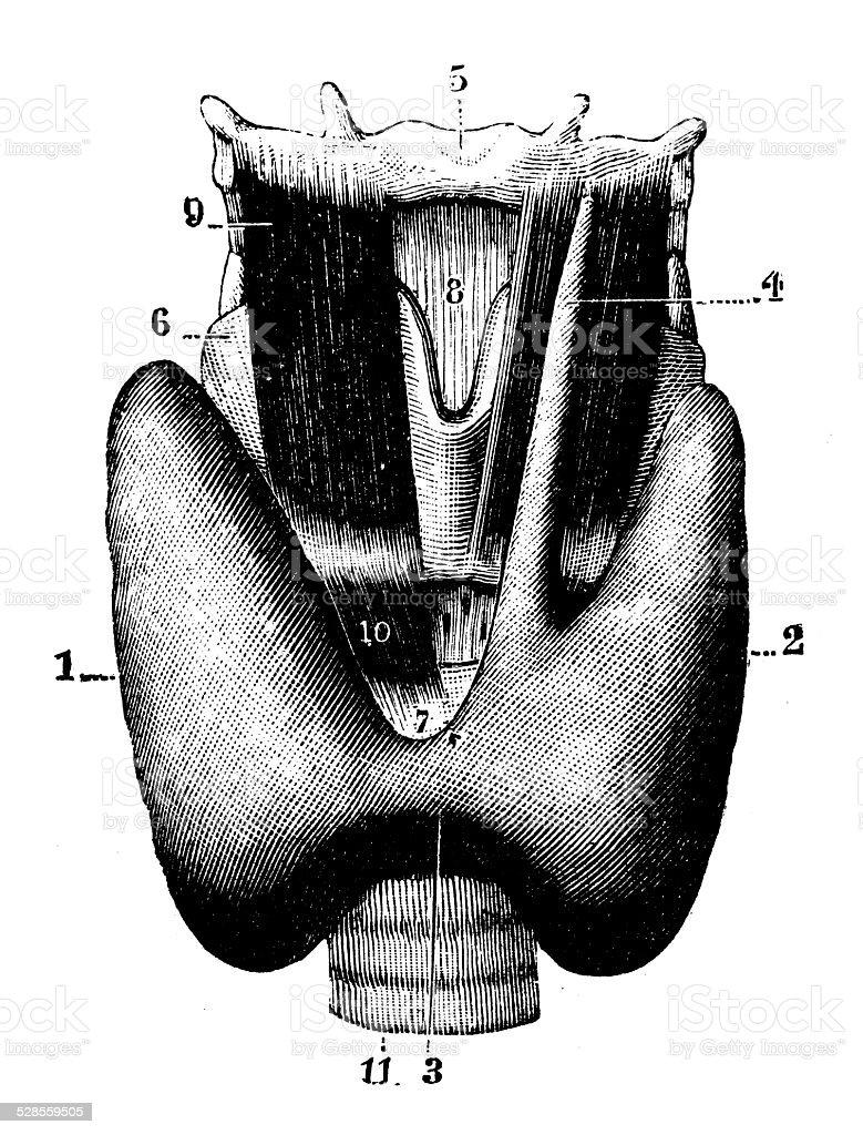 Antique Medical Scientific Illustration Highresolution Thyroid
