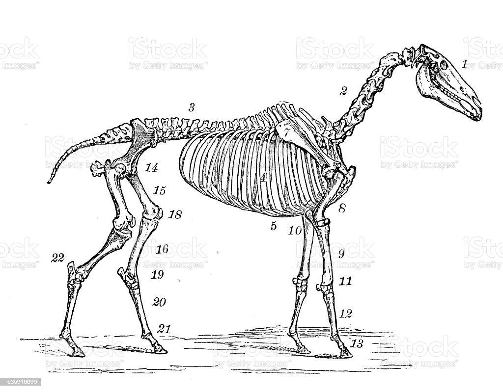 Anticuario Científica Médica Ilustración Esqueleto De Caballo - Arte ...