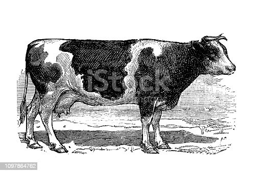 Antique old French engraving illustration: Cow